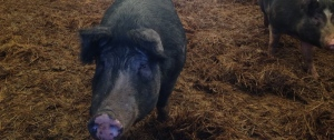 NC A&T Swine Farm Pasture Pigs